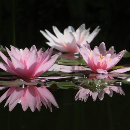 Water lily Nymphaea, Fujifilm FinePix F750EXR
