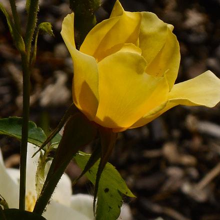 Rose, Nikon COOLPIX S3400