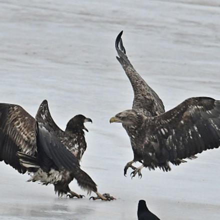 White tailed Sea Eagle, Nikon D500, AF-S VR Nikkor 600mm f/4G ED