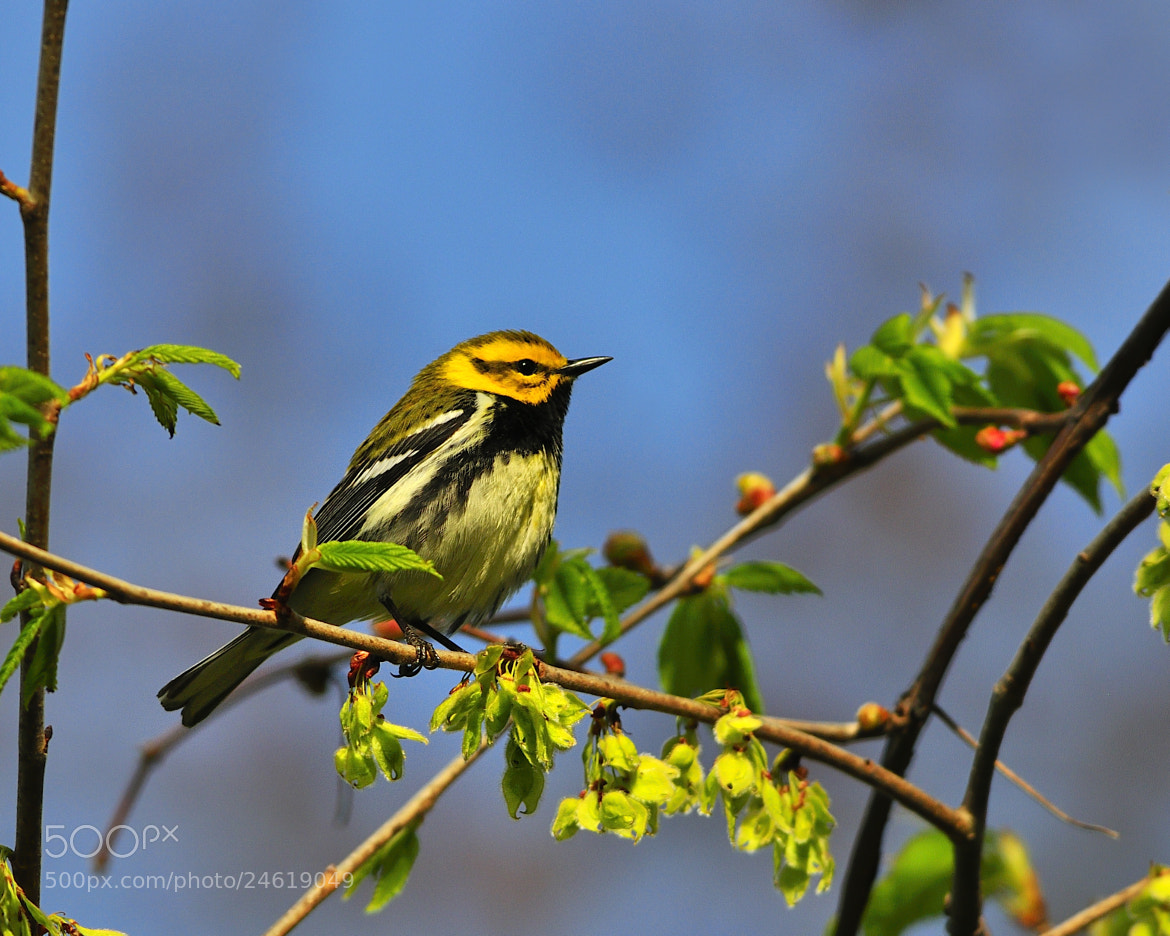 Photograph Black-throated Green Warbler by Tony Beck on 500px