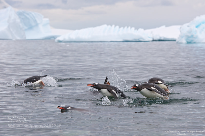 Photograph Penguins CAN Fly by Rebecca Jackrel on 500px