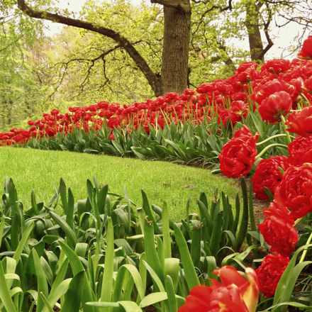 Tulips, Fujifilm FinePix SL1000