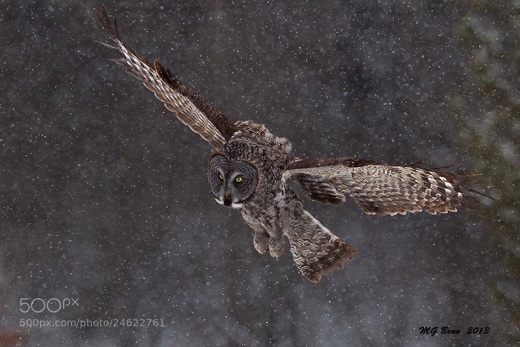 Photograph Great Gray Owl by Malcolm Benn on 500px