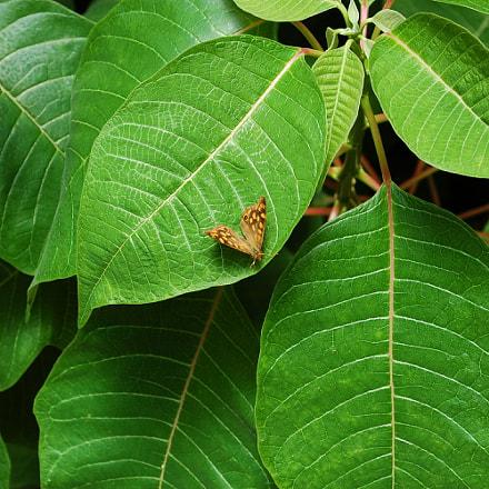 Butterfly, Nikon D40, AF-S DX VR Zoom-Nikkor 18-55mm f/3.5-5.6G