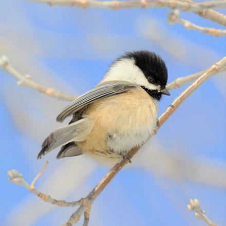 Chickadee, Nikon D90, Sigma APO 170-500mm F5-6.3 Aspherical RF