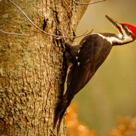 Pileated Woodpecker, Sony SLT-A65V, Tamron SP 150-600mm F5-6.3 Di USD