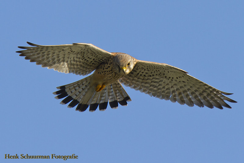 Photograph Kestrel hanging by Henk Schuurman on 500px
