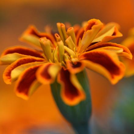 orange colour flower, Nikon D750, AF Micro-Nikkor 200mm f/4D IF-ED