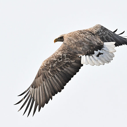 White -tailed Sea Eagle흰꼬리수리, Nikon D500, AF-S VR Zoom-Nikkor 200-400mm f/4G IF-ED