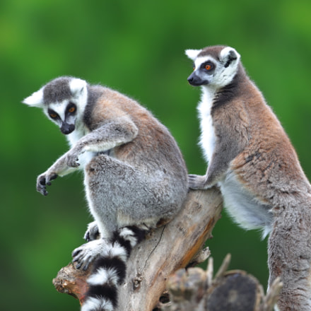 lemur, Canon EOS-1D X MARK II, Canon EF 600mm f/4.0L IS II USM