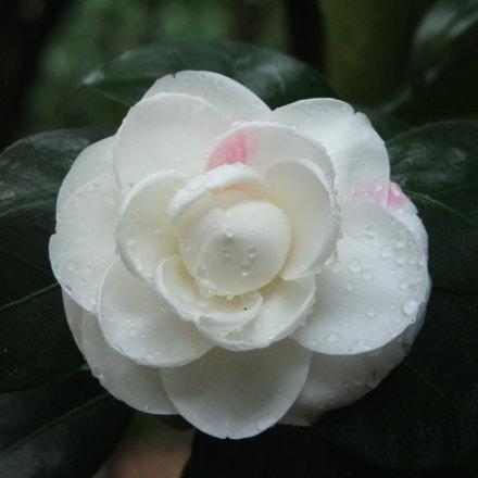 Camellia, Fujifilm FinePix S5100