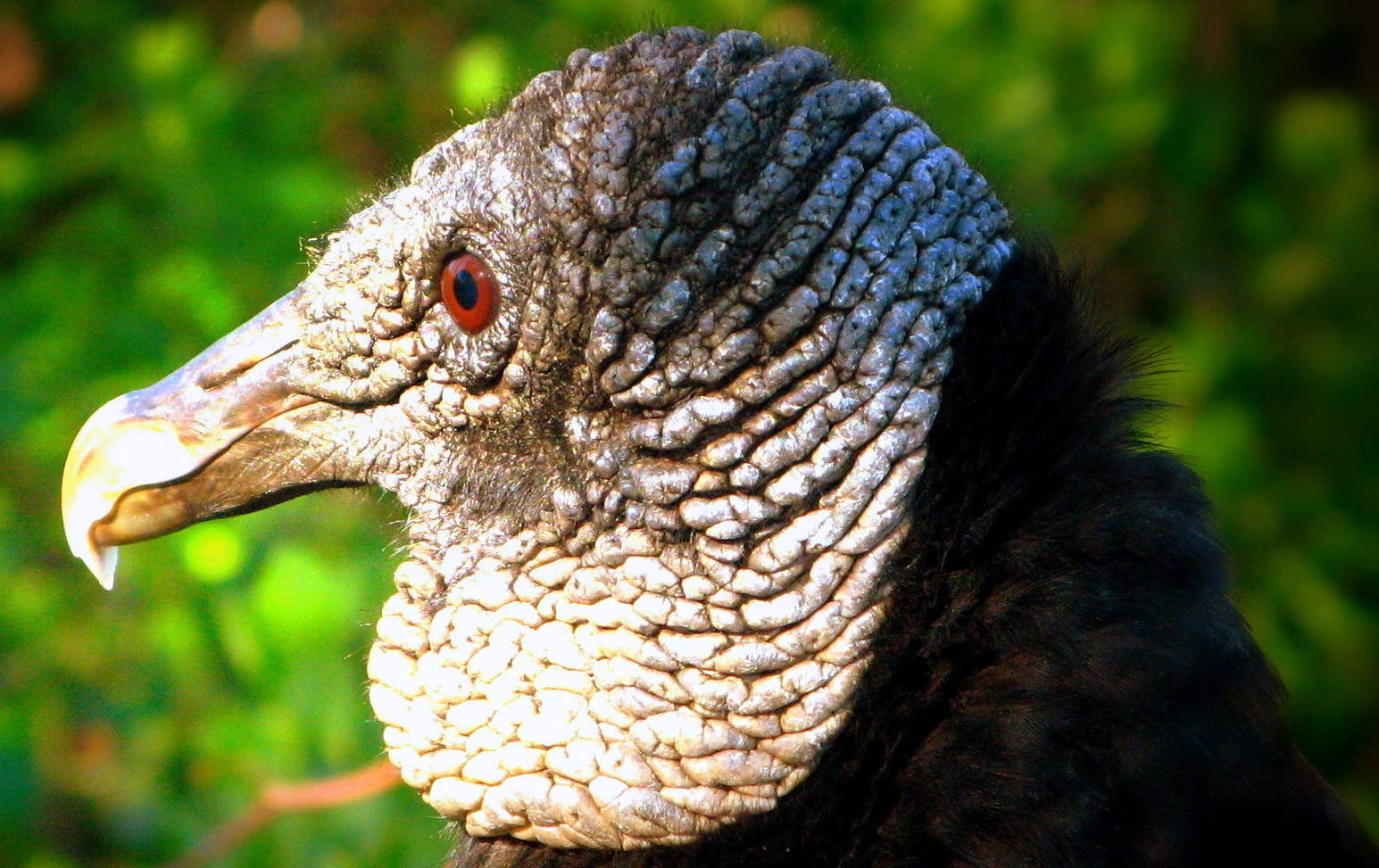 Photograph Everglades black  vulture by CAN4 on 500px