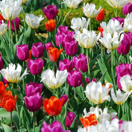 Filed of tulips, Nikon D80, Sigma 18-200mm F3.5-6.3 DC OS HSM
