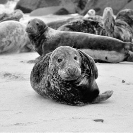 Portrait of gray seal., Nikon D60, AF-S DX VR Zoom-Nikkor 16-85mm f/3.5-5.6G ED