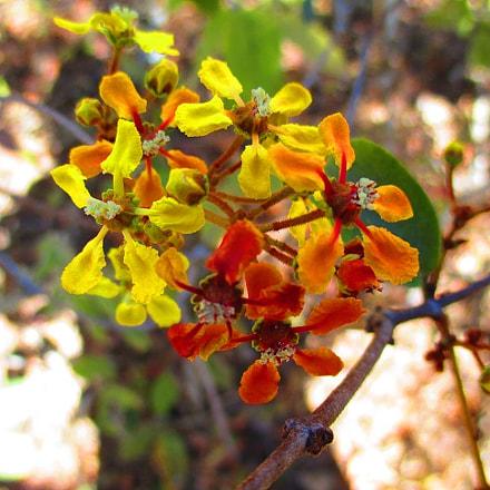 Malpighiaceae, Canon POWERSHOT ELPH 135