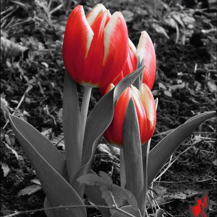 Red Tulip Red Tulip, Fujifilm FinePix S1
