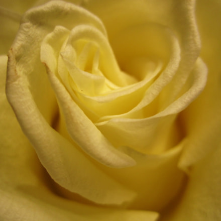 Yellow rose, Canon IXUS 130