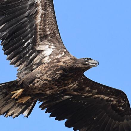 White tailed Sea Eagle흰꼬리수리, Nikon D500, AF-S VR Zoom-Nikkor 200-400mm f/4G IF-ED