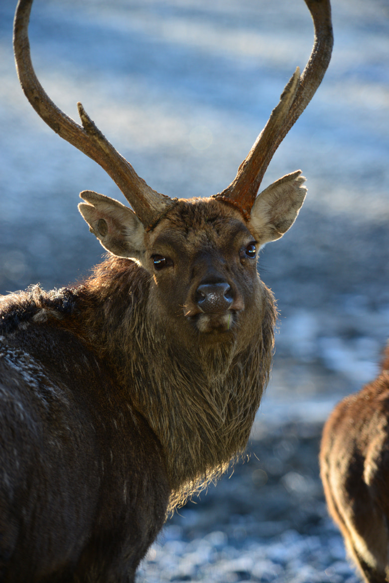 Photograph Sika Deer by Randy Brandt on 500px
