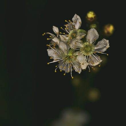 Blossom #1, Sony SLT-A65V, Tamron SP AF 90mm F2.8 Di Macro