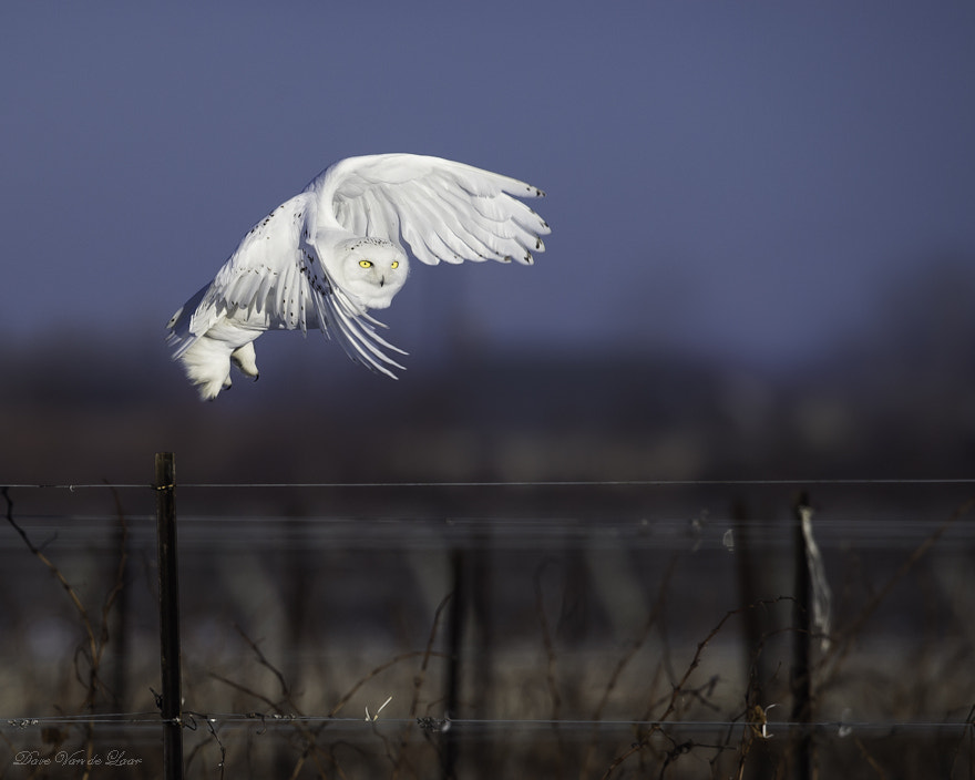 Photograph Snowy Owl by Dave Van de Laar on 500px