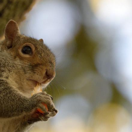 Hungry Squirrel, Nikon D3300, Sigma 150-600mm F5-6.3 DG OS HSM | C