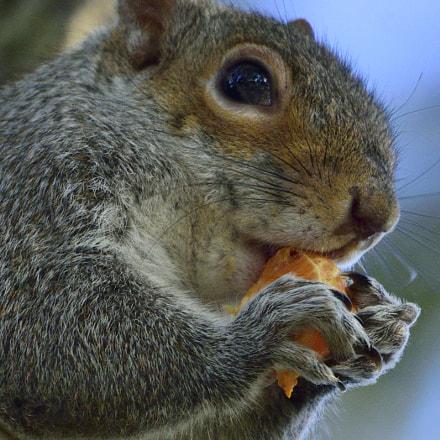 Snacking Squirrel, Nikon D3300, Sigma 150-600mm F5-6.3 DG OS HSM | C