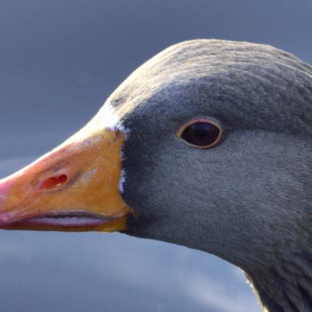 Duck Head, Nikon D3300, Sigma 150-600mm F5-6.3 DG OS HSM | C