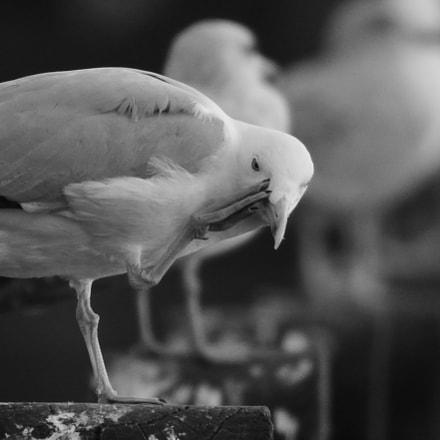 Scratching Seagull, Nikon D3300, Sigma 150-600mm F5-6.3 DG OS HSM | C