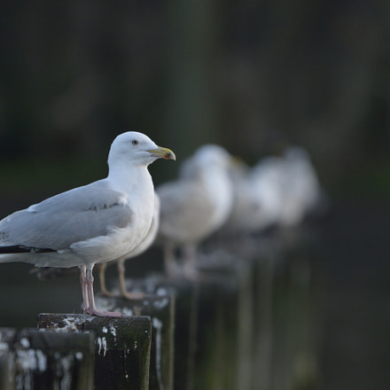 Birds in a Line, Nikon D3300, Sigma 150-600mm F5-6.3 DG OS HSM | C