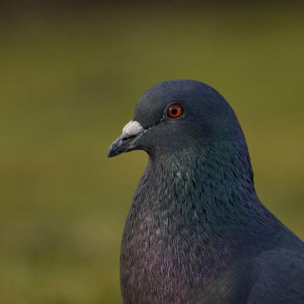 Pigeon, Nikon D3300, Sigma 150-600mm F5-6.3 DG OS HSM | C