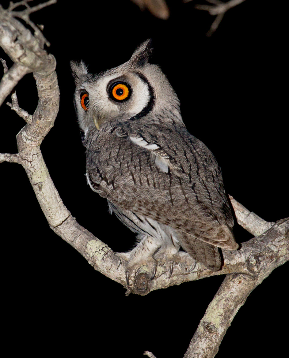 Photograph White Faced Scops Owl by Michael Moss on 500px