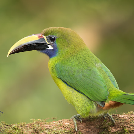 Northern Emerald Toucanet