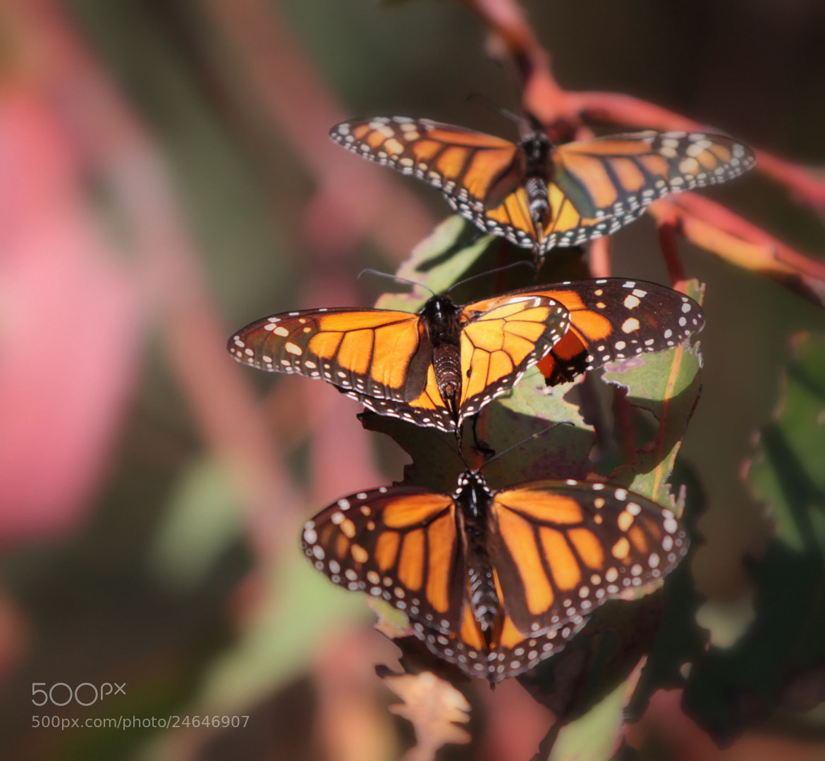 Photograph Monarch formation by Todd Livermore on 500px