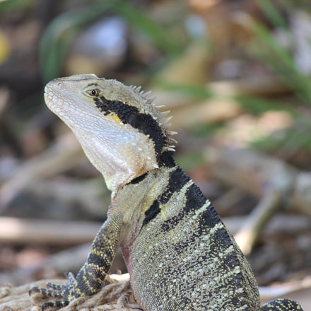 Australian wildlife, Canon EOS 600D, Canon EF-S 55-250mm f/4-5.6 IS II
