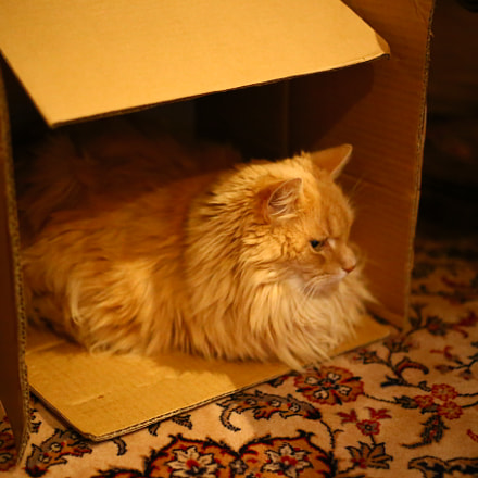 Cat in the box, Canon EOS 6D, Canon EF 50mm f/1.8 STM