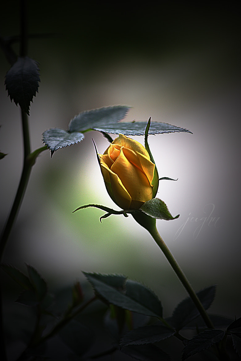 Photograph Yellow Mini Rose by jughnguevarra on 500px