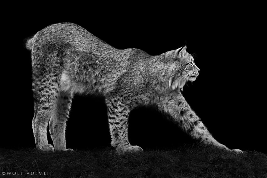 Photograph LYNX STRETCHING by Wolf Ademeit on 500px