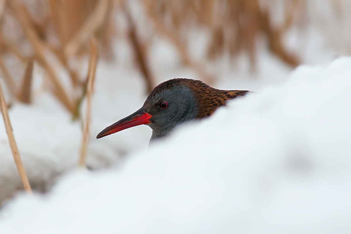 Photograph Water Rail popping out the Snow by Rob Janné on 500px