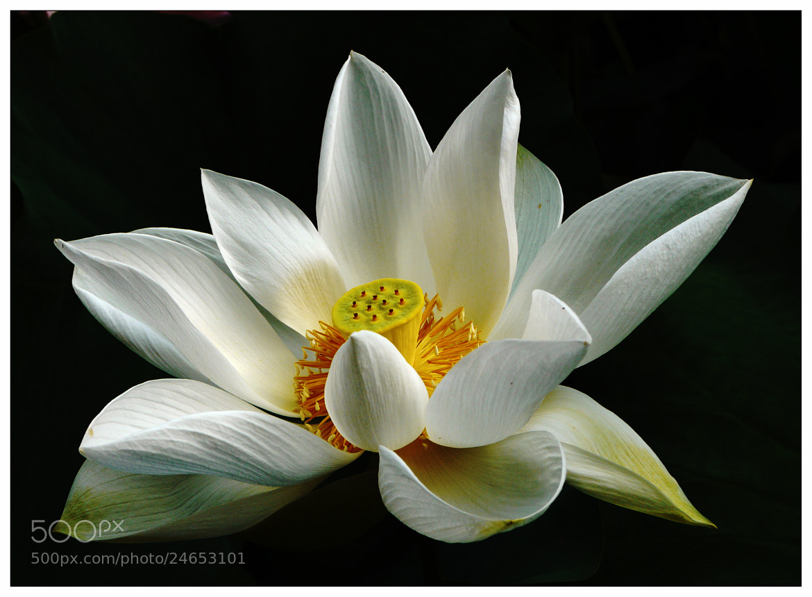 Photograph White Lotus Heart by Sherman C. on 500px