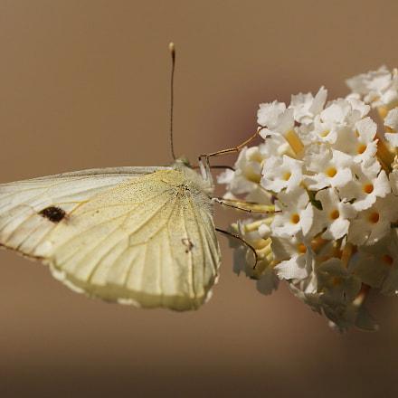 White on White, Canon EOS 60D, Sigma 150mm f/2.8 EX DG OS HSM APO Macro