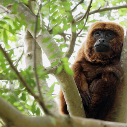 Howler Monkey, Canon EOS 80D, Sigma 150-600mm f/5-6.3 DG OS HSM | C