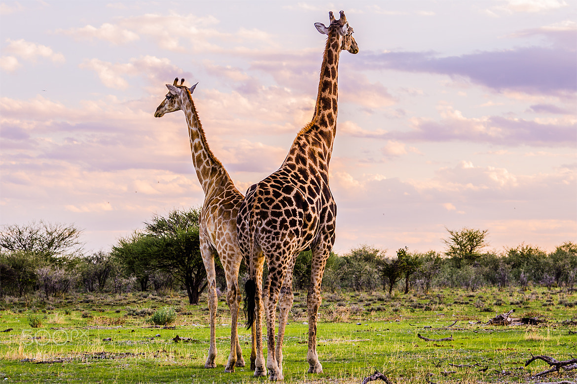 Photograph Giraffes in the Etosha by Tommaso Maiocchi on 500px