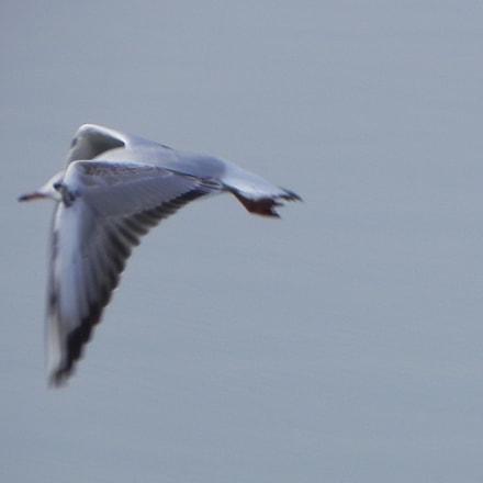 Flying seagull, Nikon COOLPIX P100
