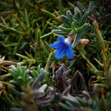 blue flower, Fujifilm FinePix SL245