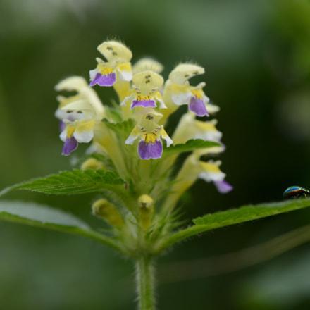 Galeopsis speciosa., Nikon D800, AF-S VR Micro-Nikkor 105mm f/2.8G IF-ED