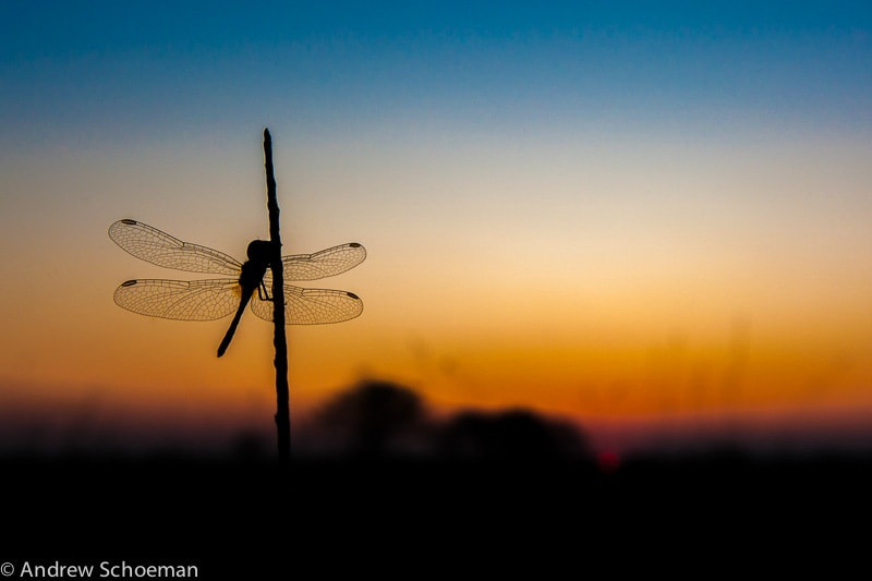 Photograph Golden Dragonfly by Andrew Schoeman on 500px