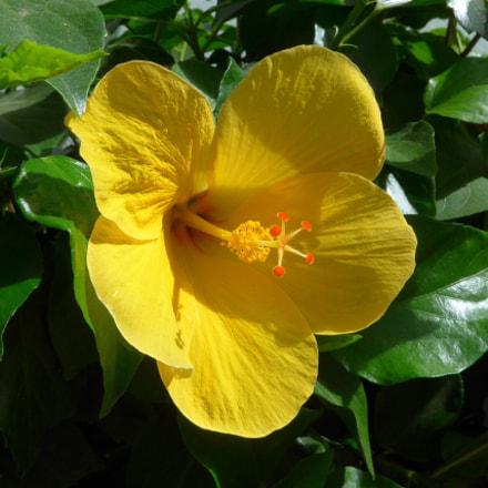 Yellow Hibiscus, Panasonic DMC-LF1
