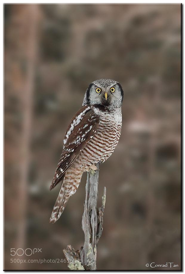 Photograph Northern Hawk Owl by Conrad Tan on 500px