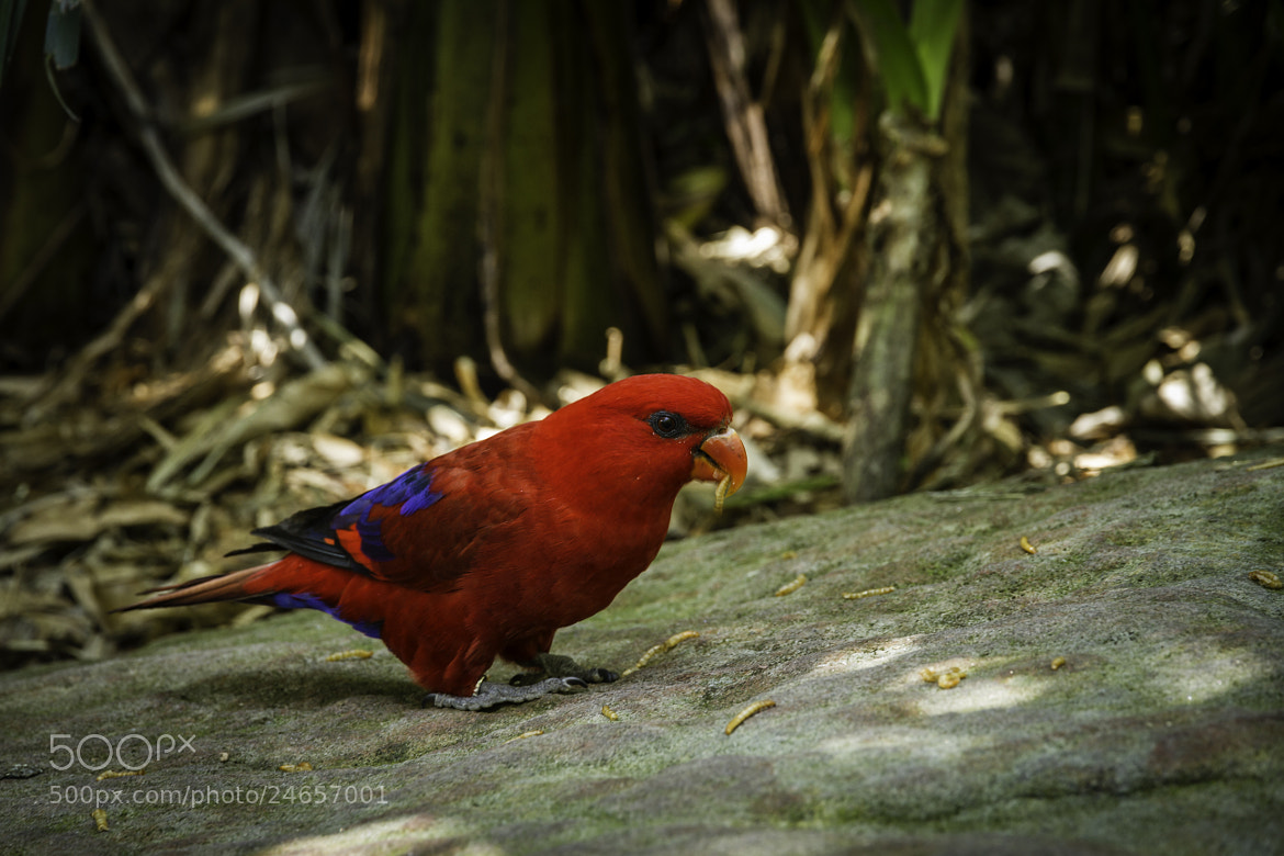 Photograph Red Bird by Carlos Rolfo on 500px